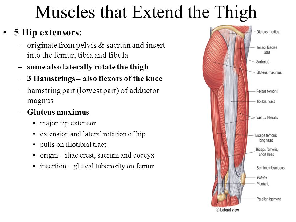 Muscles that Extend the Thigh