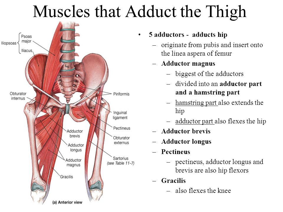 Muscles that Adduct the Thigh