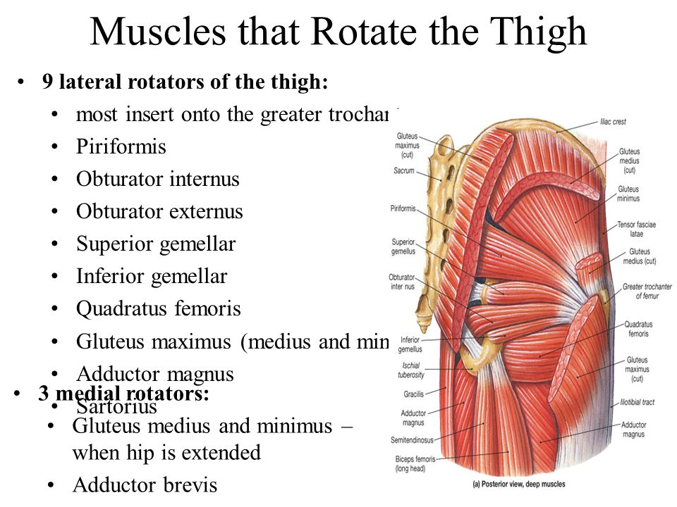 Muscles that Rotate the Thigh