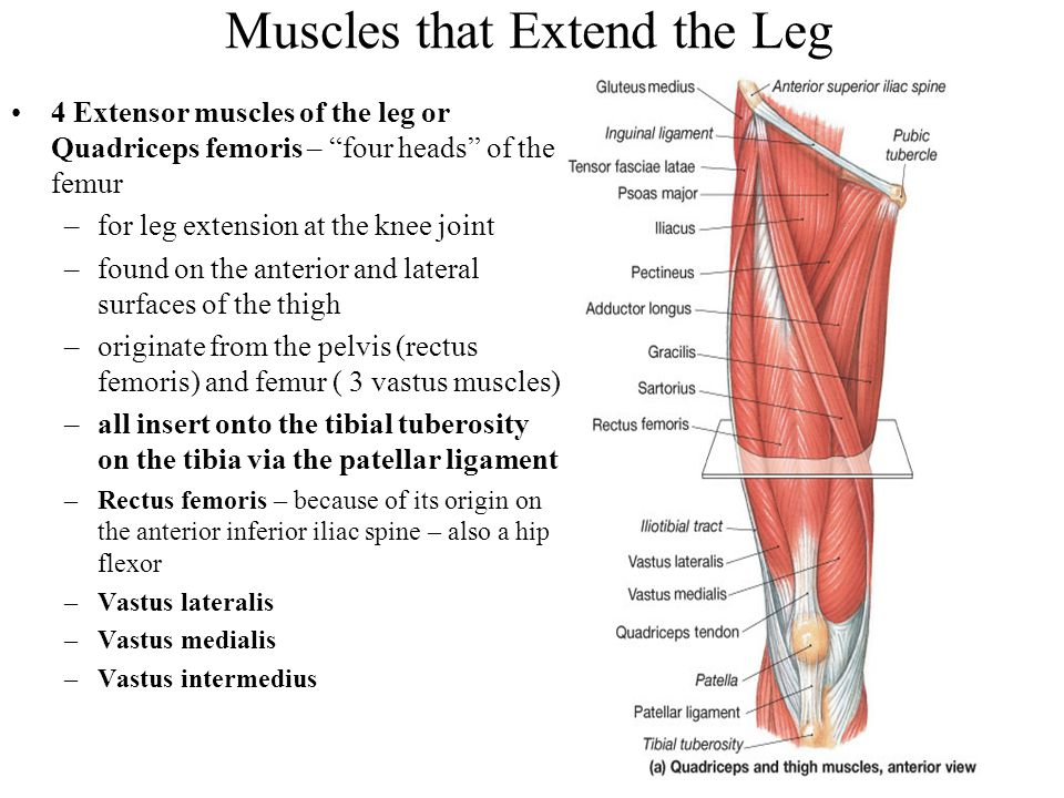 Muscles that Extend the Leg
