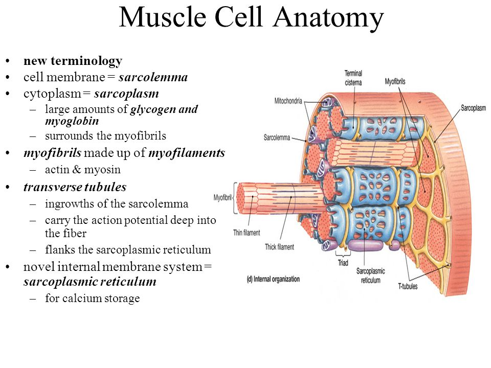 Muscle Cell Anatomy new terminology cell membrane = sarcolemma