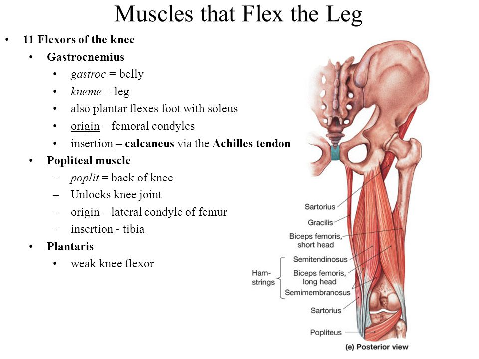 Muscles that Flex the Leg