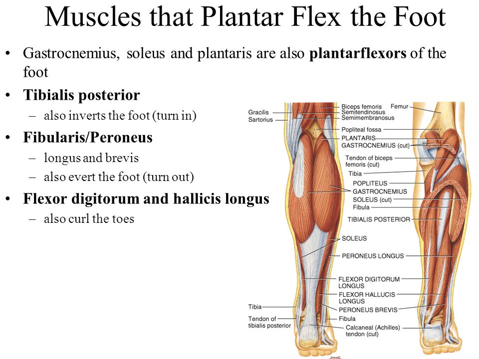 Muscles that Plantar Flex the Foot