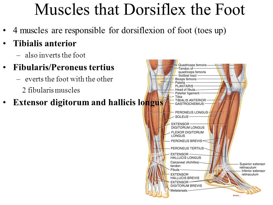 Muscles that Dorsiflex the Foot