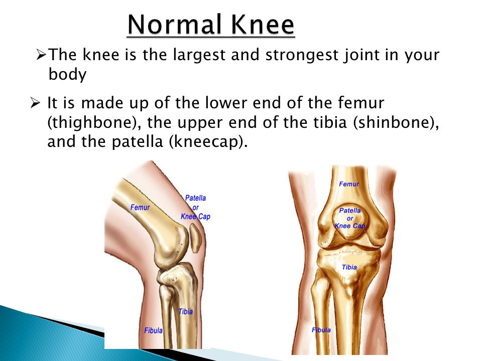 Normal Knee The knee is the largest and strongest joint in your body