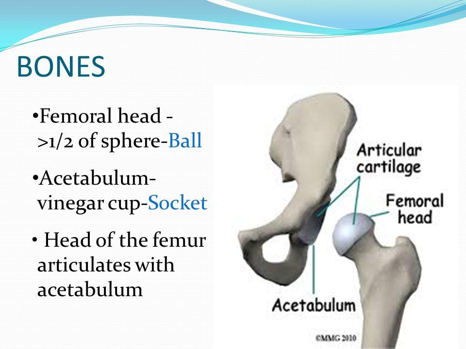 BONES Femoral head ->1/2 of sphere-Ball