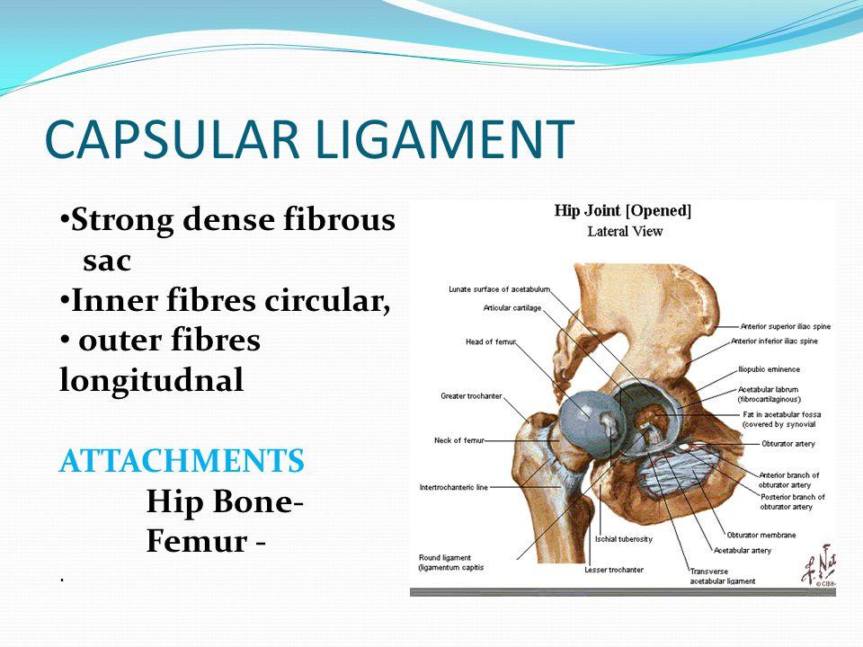 CAPSULAR LIGAMENT Strong dense fibrous sac Inner fibres circular,