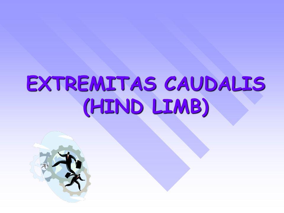 EXTREMITAS CAUDALIS (HIND LIMB)