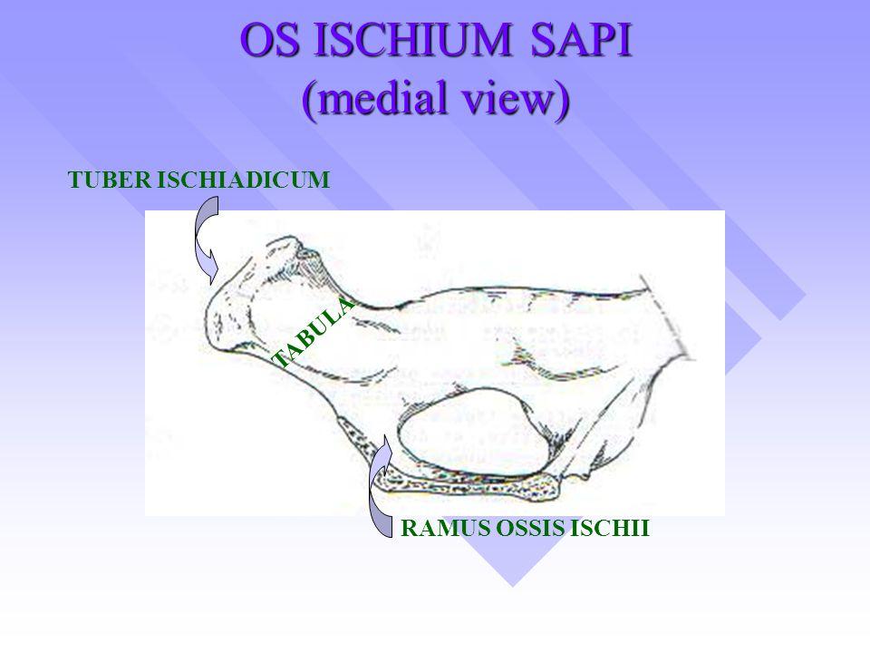 OS ISCHIUM SAPI (medial view)