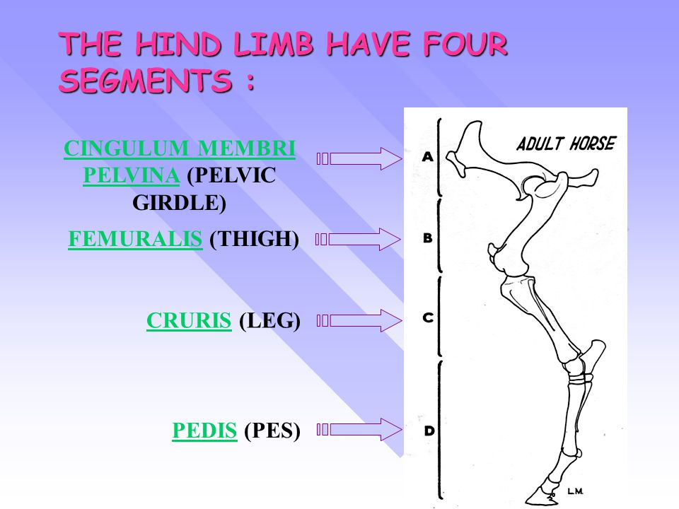 THE HIND LIMB HAVE FOUR SEGMENTS :