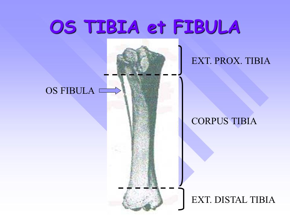 OS TIBIA et FIBULA EXT. PROX. TIBIA OS FIBULA CORPUS TIBIA