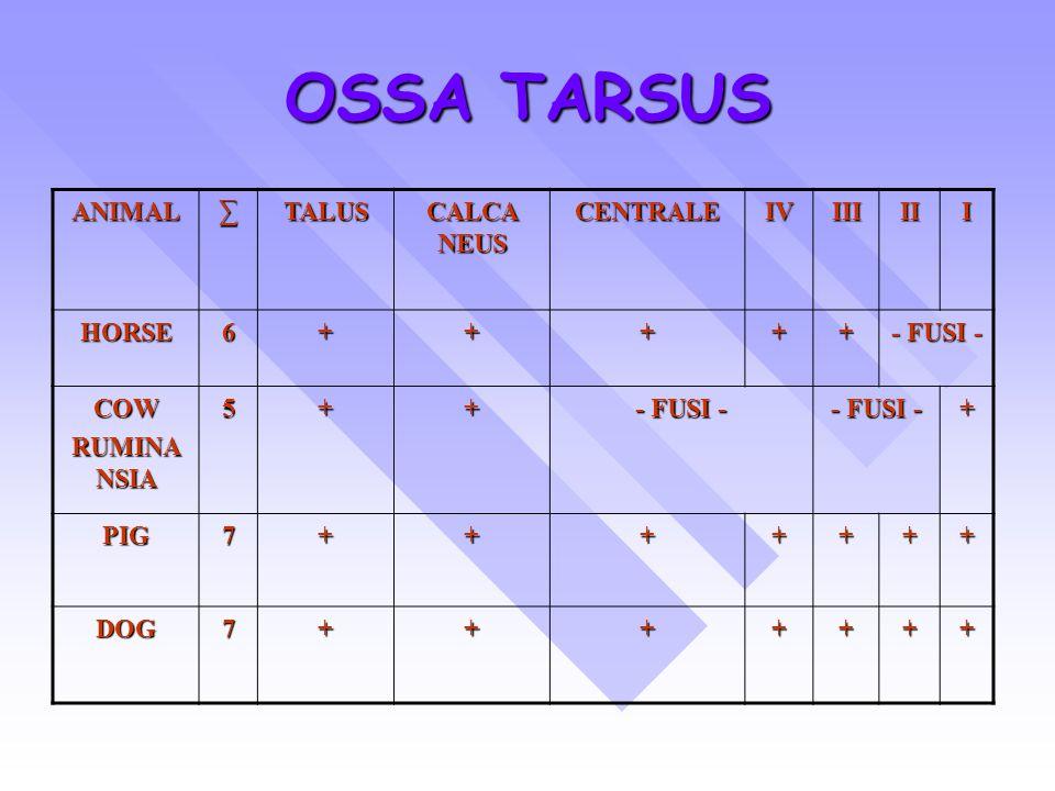 OSSA TARSUS ANIMAL ∑ TALUS CALCA NEUS CENTRALE IV III II I HORSE 6 +