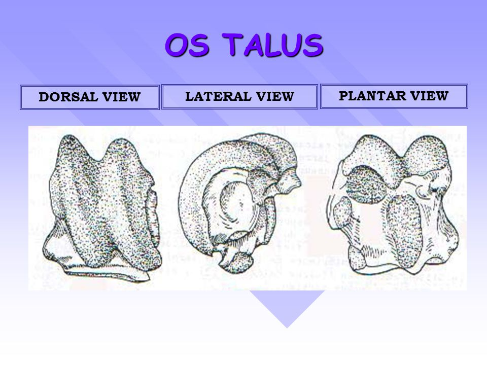 OS TALUS DORSAL VIEW LATERAL VIEW PLANTAR VIEW
