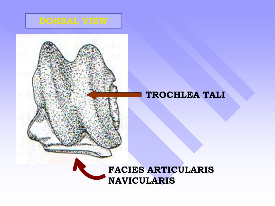 DORSAL VIEW TROCHLEA TALI FACIES ARTICULARIS NAVICULARIS