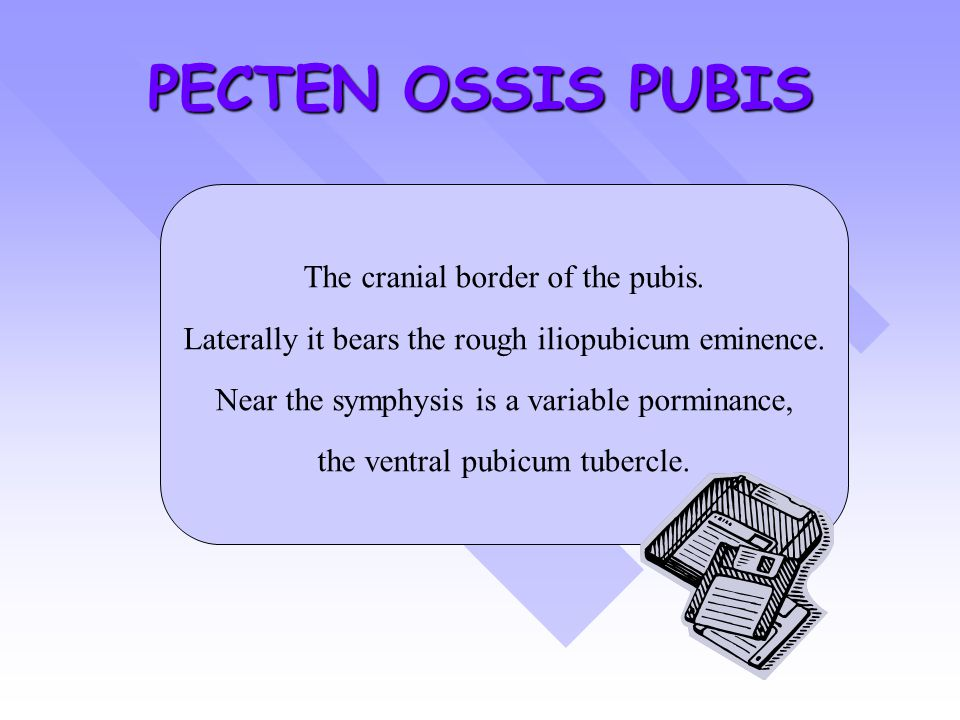 PECTEN OSSIS PUBIS The cranial border of the pubis.