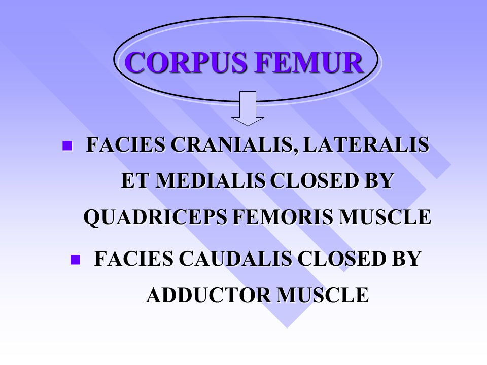FACIES CAUDALIS CLOSED BY ADDUCTOR MUSCLE