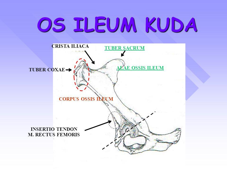 OS ILEUM KUDA CRISTA ILIACA TUBER SACRUM ALAE OSSIS ILEUM TUBER COXAE