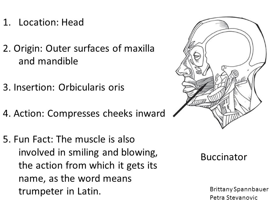 2. Origin: Outer surfaces of maxilla and mandible