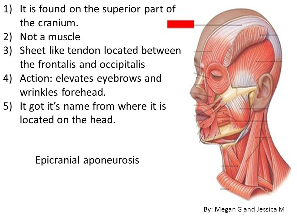 It is found on the superior part of the cranium. Not a muscle