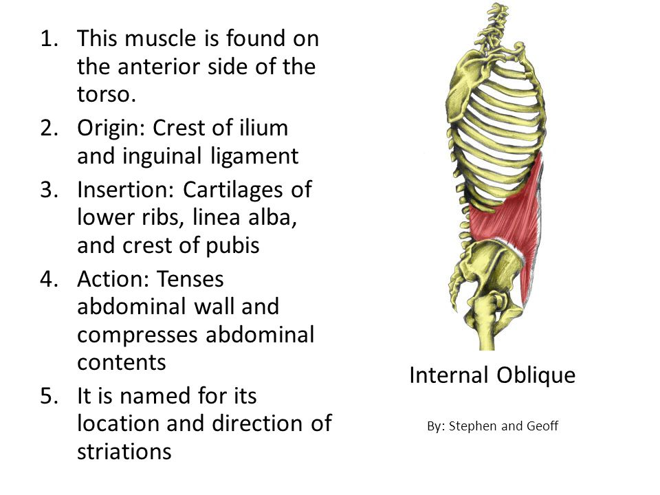 This muscle is found on the anterior side of the torso.