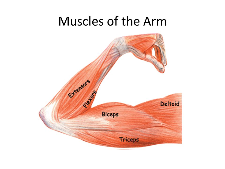 Muscles of the Arm