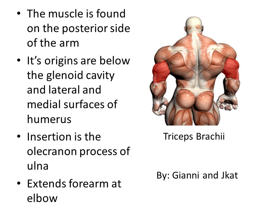 The muscle is found on the posterior side of the arm