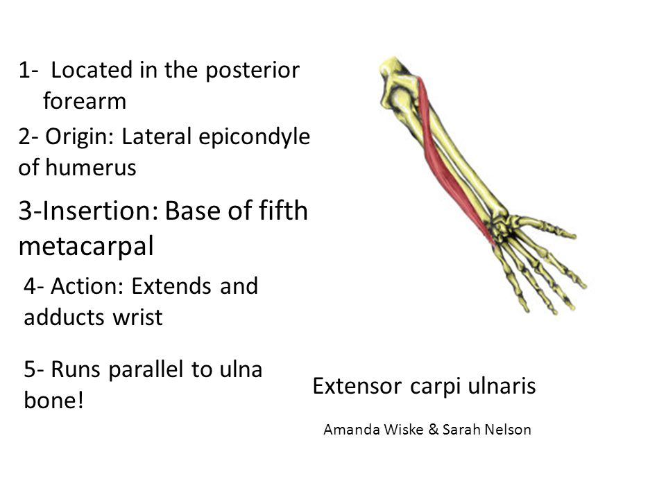 3-Insertion: Base of fifth metacarpal