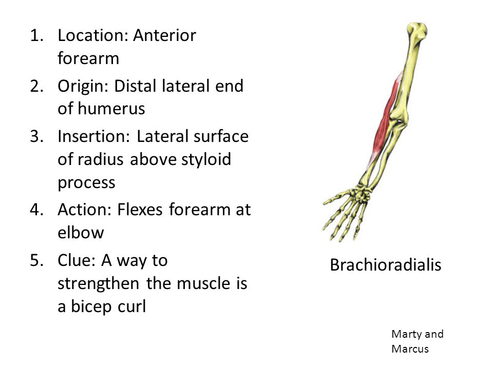 Location: Anterior forearm Origin: Distal lateral end of humerus