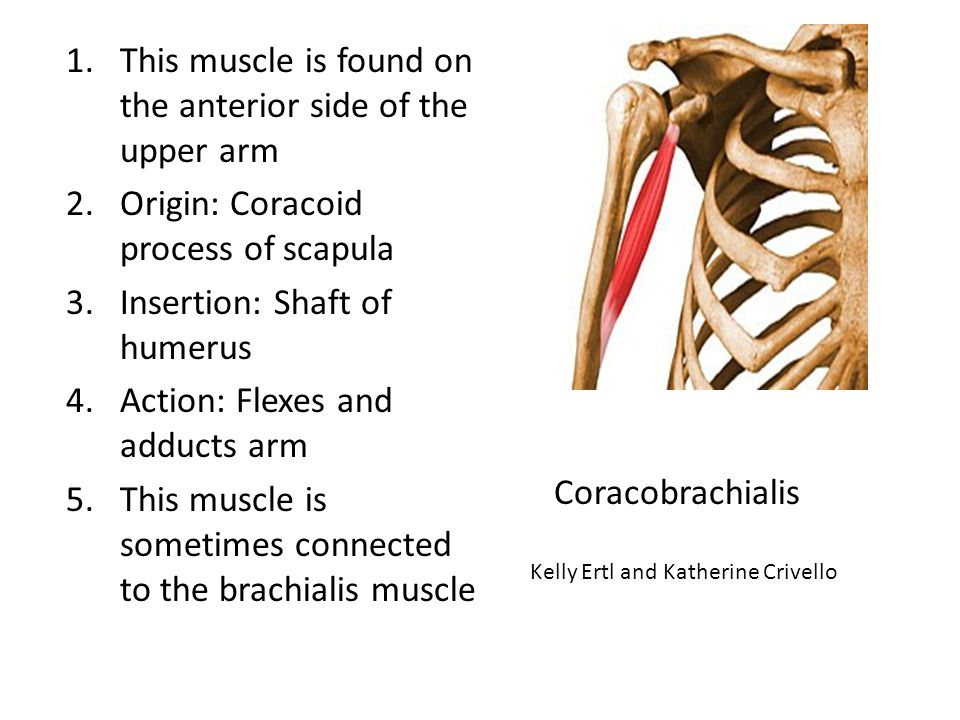 This muscle is found on the anterior side of the upper arm