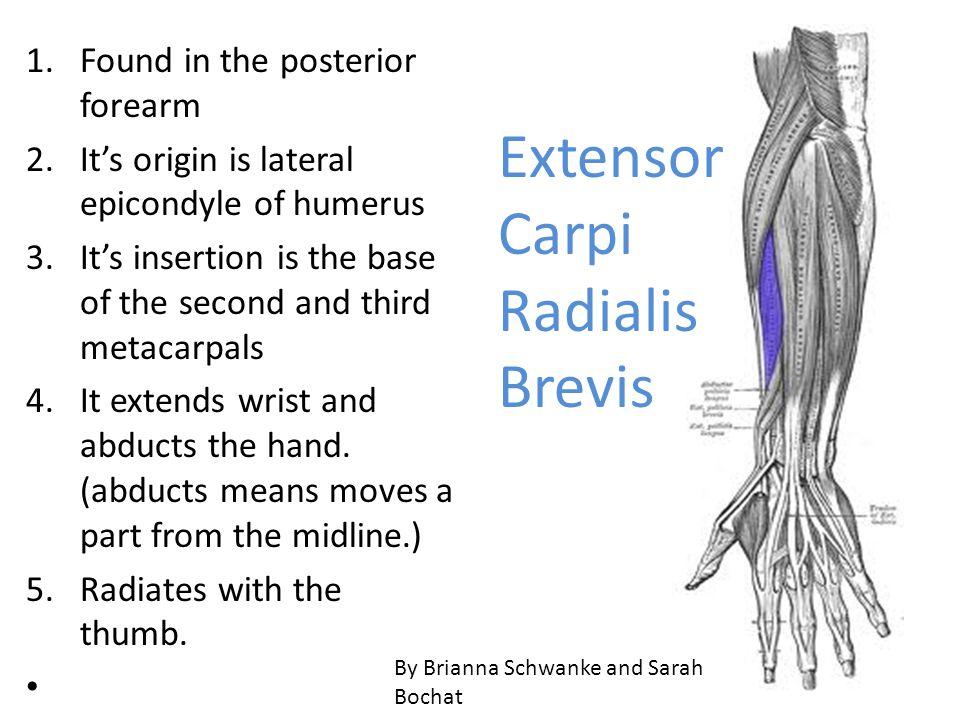 Extensor Carpi Radialis Brevis