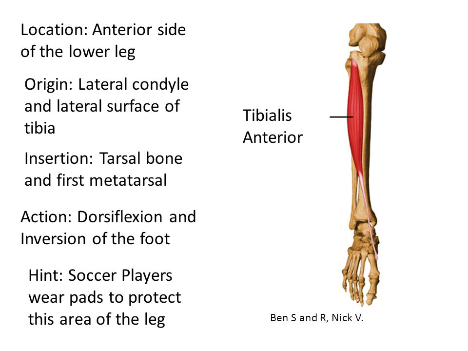 Location: Anterior side of the lower leg