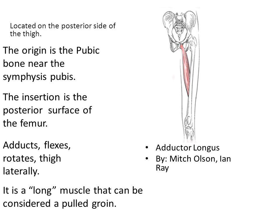 The origin is the Pubic bone near the symphysis pubis.