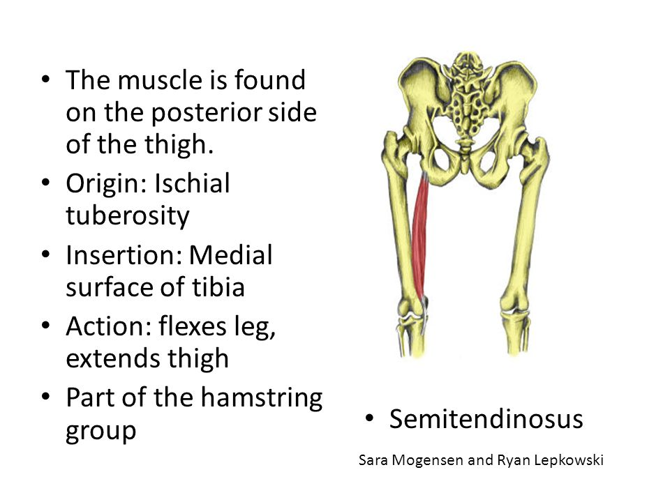 The muscle is found on the posterior side of the thigh.