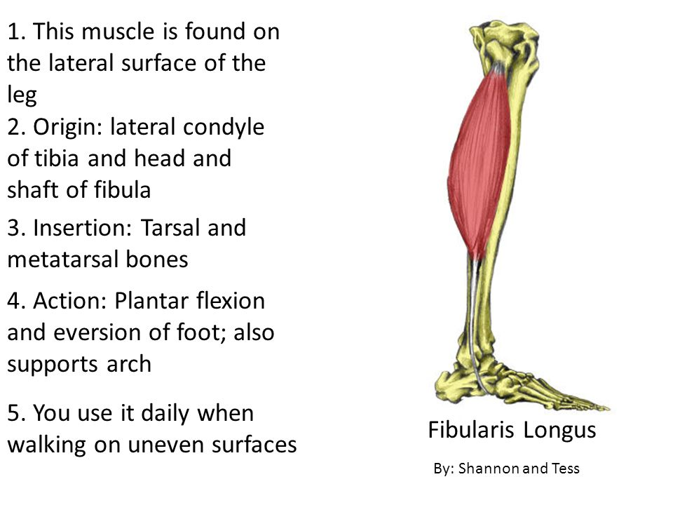 1. This muscle is found on the lateral surface of the leg