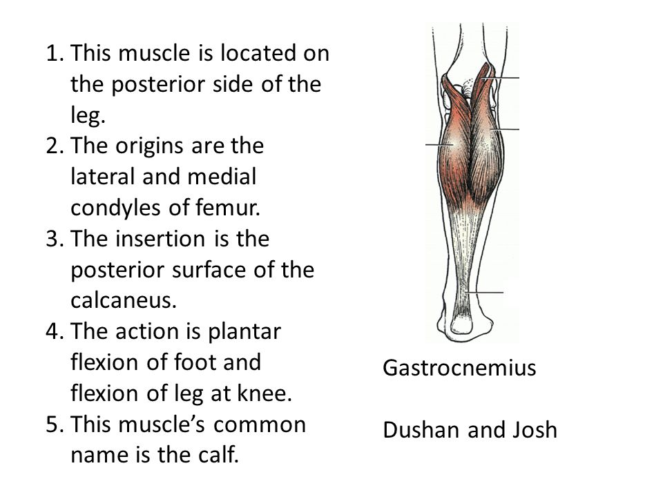 This muscle is located on the posterior side of the leg.