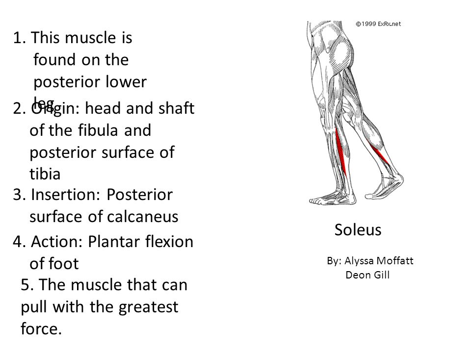 1. This muscle is found on the posterior lower leg