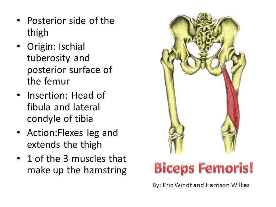 Biceps Femoris! Posterior side of the thigh