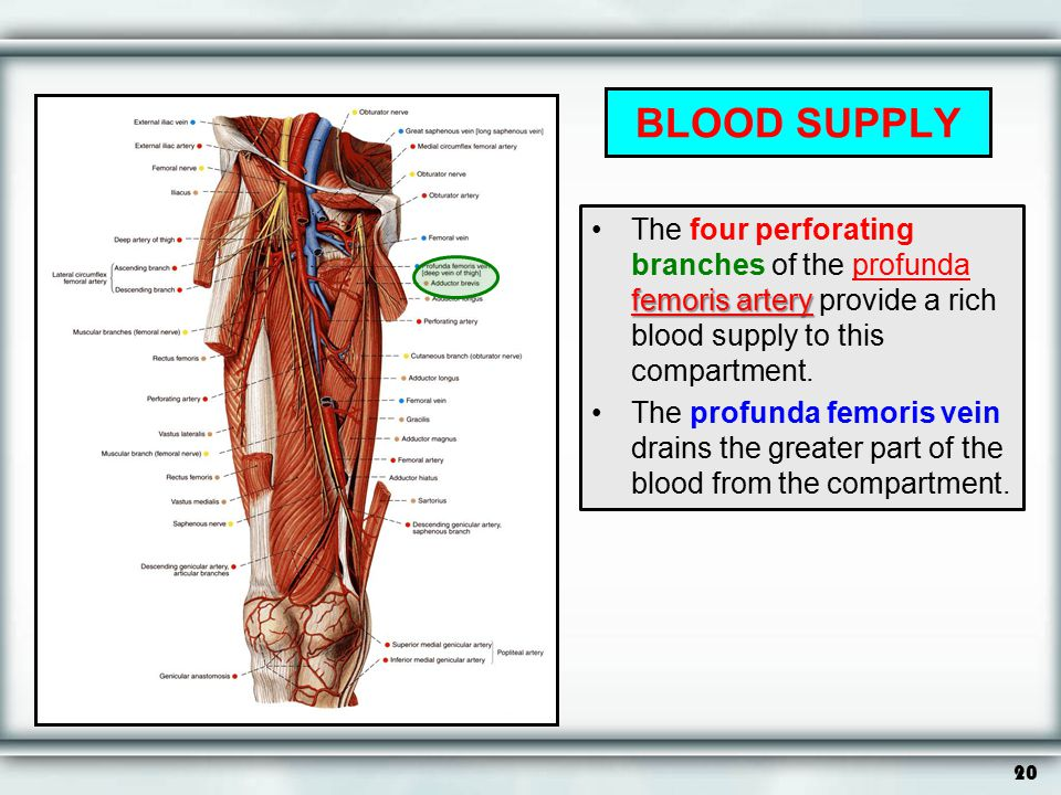 BLOOD SUPPLY The four perforating branches of the profunda femoris artery provide a rich blood supply to this compartment.
