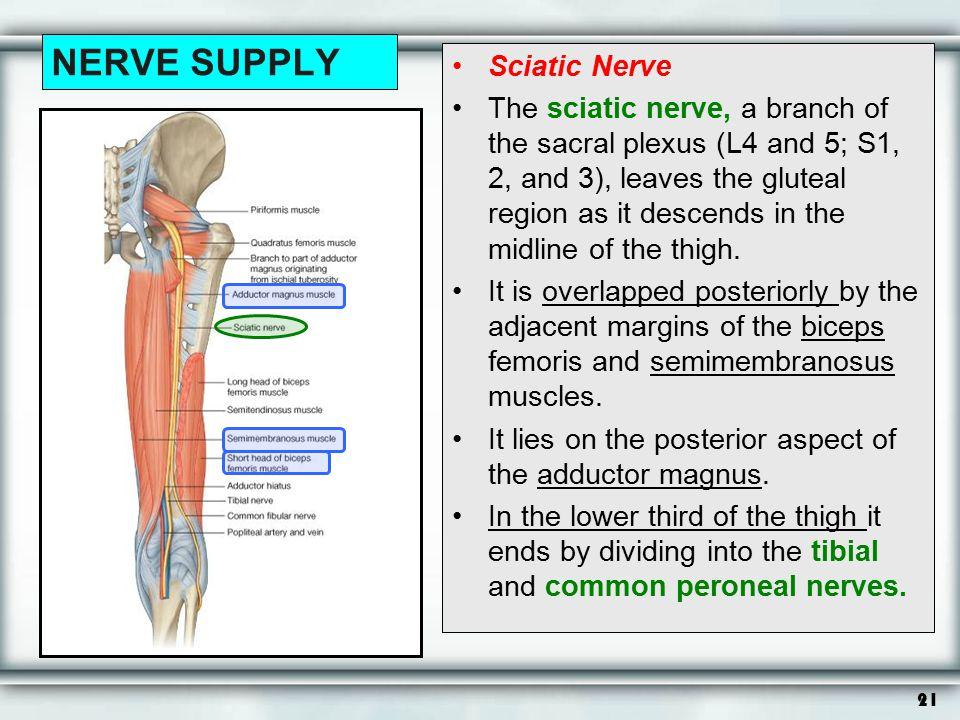 NERVE SUPPLY Sciatic Nerve