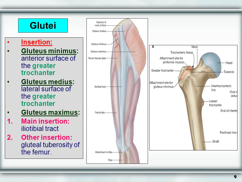 Glutei Insertion: Gluteus minimus: anterior surface of the greater trochanter. Gluteus medius: lateral surface of the greater trochanter.