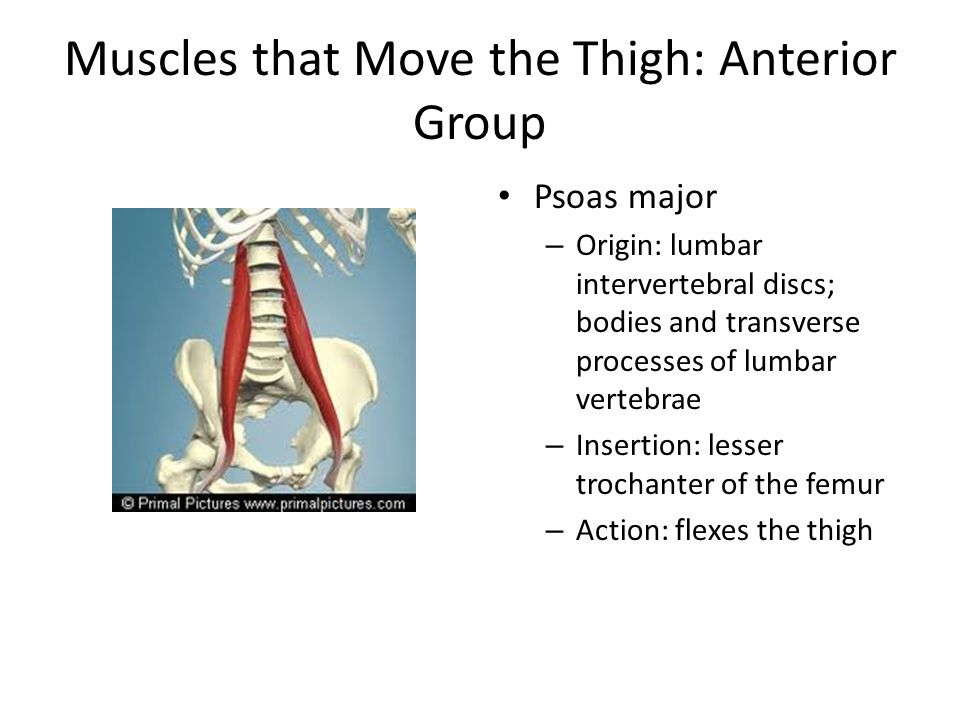 Muscles that Move the Thigh: Anterior Group
