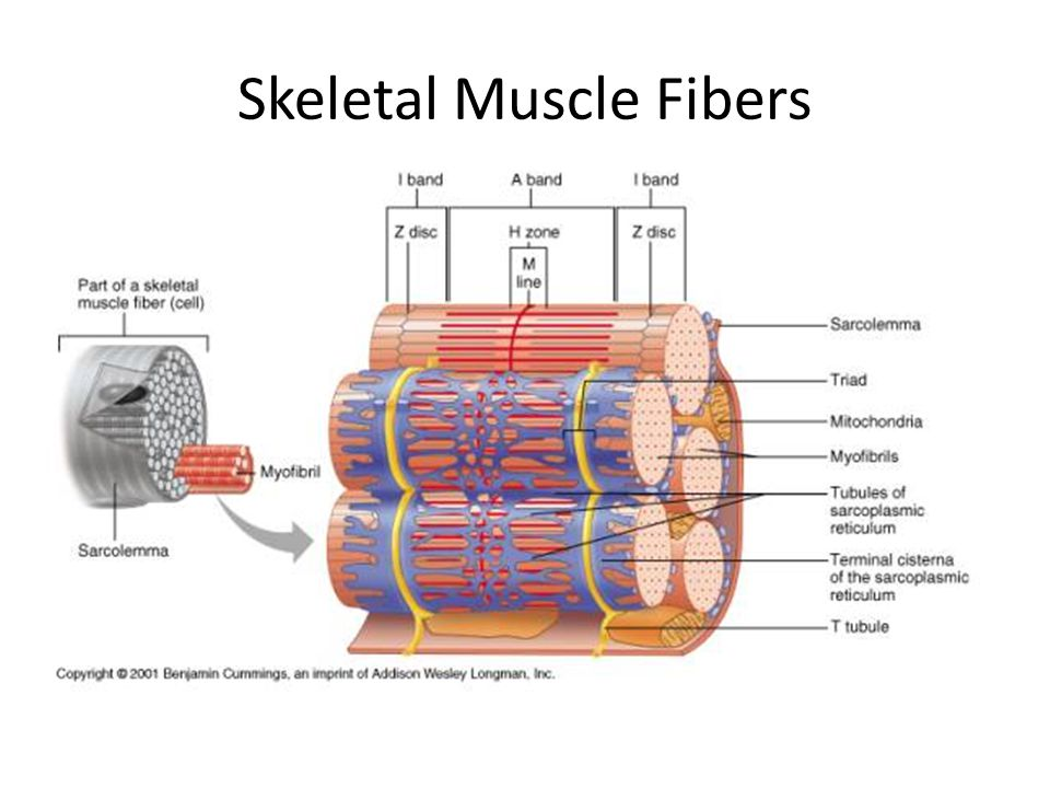 Skeletal Muscle Fibers