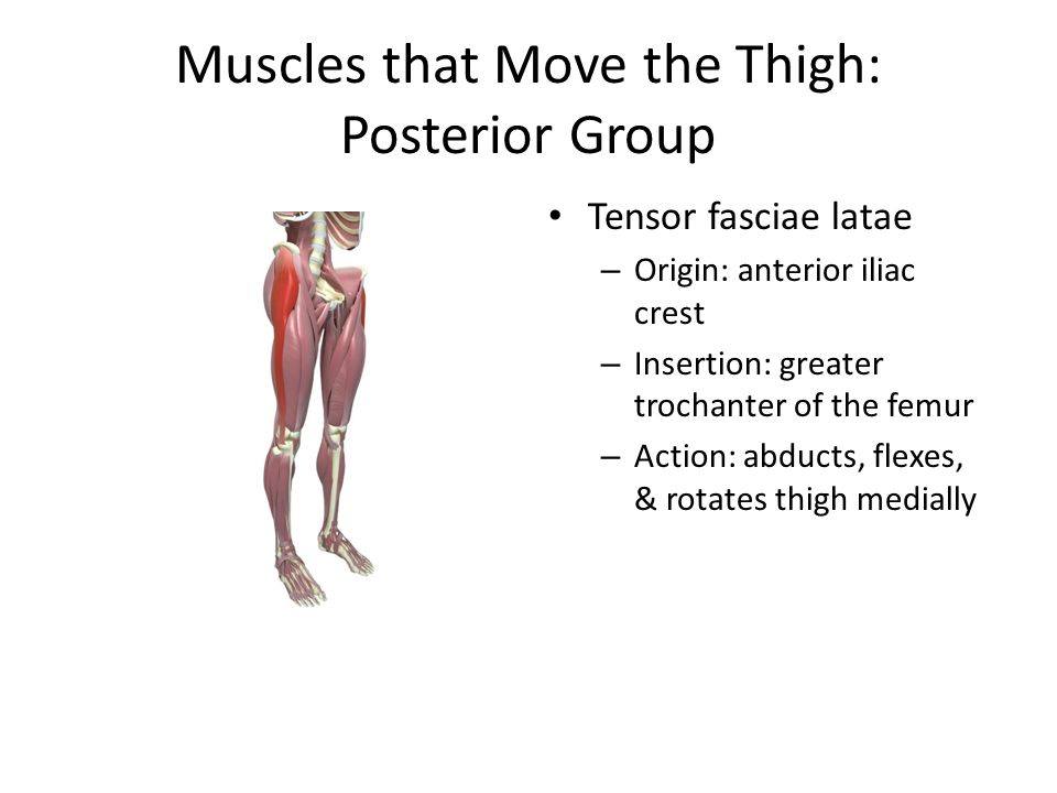 Muscles that Move the Thigh: Posterior Group