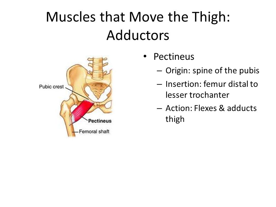 Muscles that Move the Thigh: Adductors