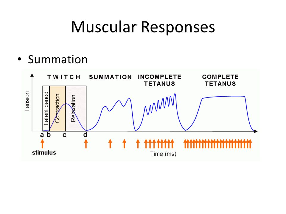 Muscular Responses Summation