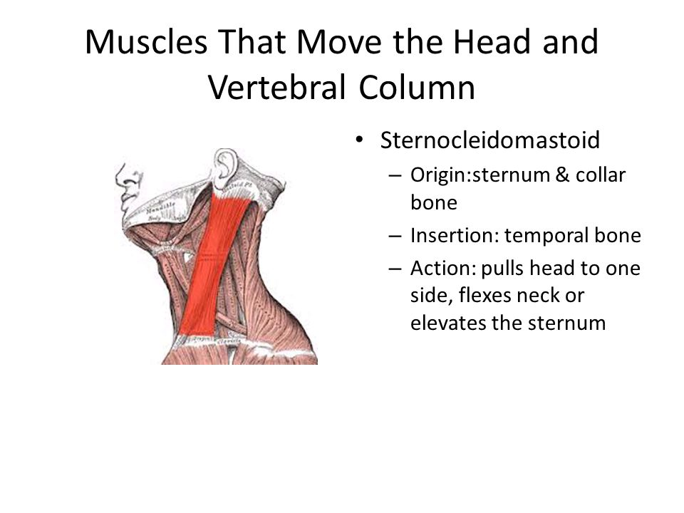 Muscles That Move the Head and Vertebral Column