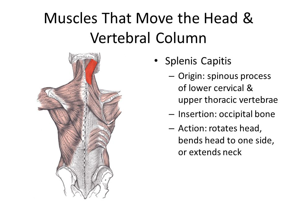 Muscles That Move the Head & Vertebral Column