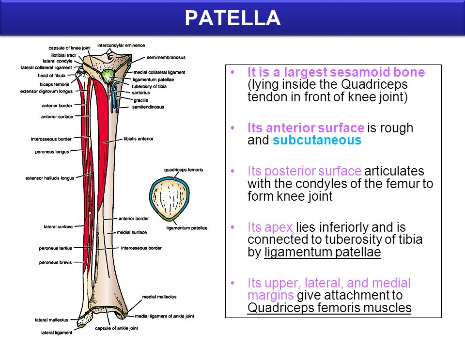 PATELLA It is a largest sesamoid bone (lying inside the Quadriceps tendon in front of knee joint) Its anterior surface is rough and subcutaneous.