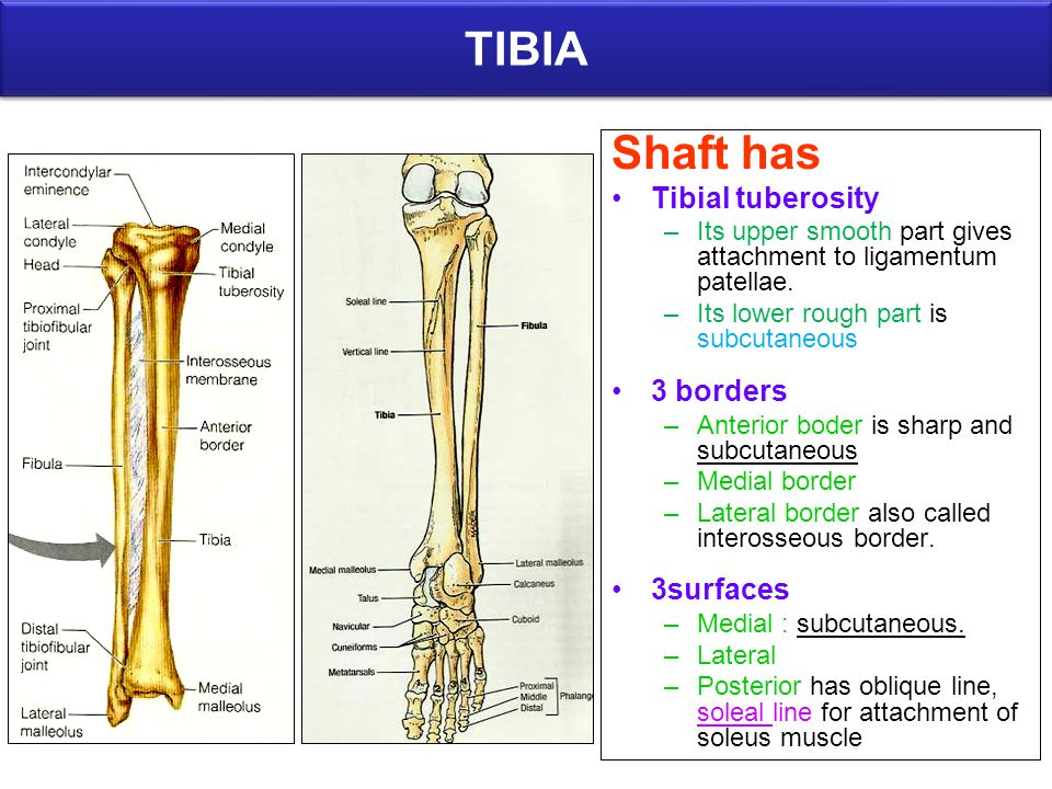 Images Of Soleal Line Tibia Anatomy Rock Cafe