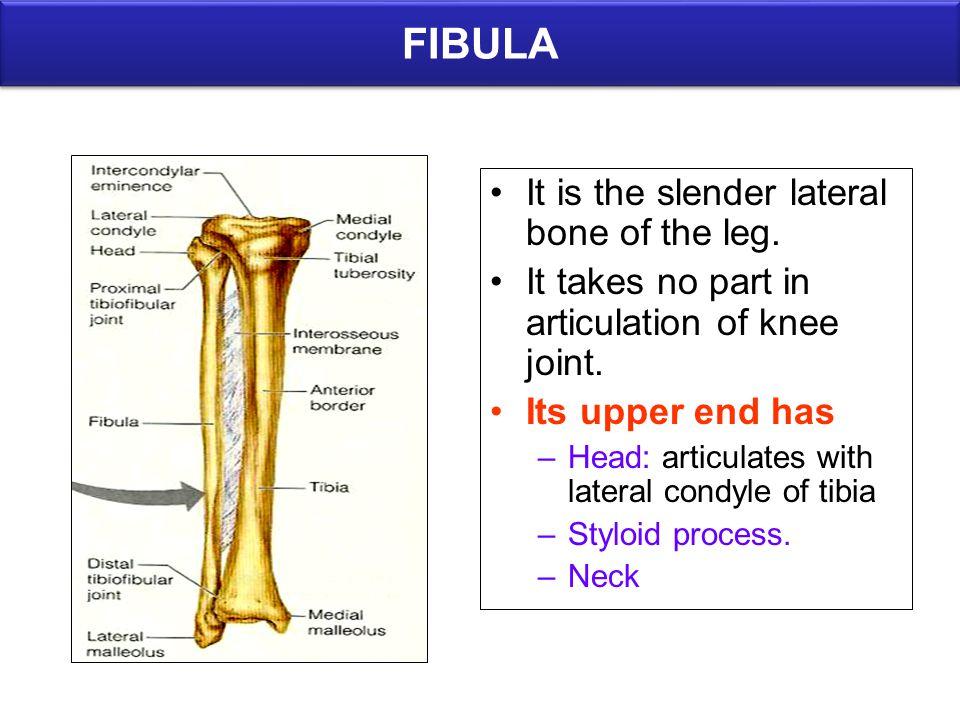 FIBULA It is the slender lateral bone of the leg.